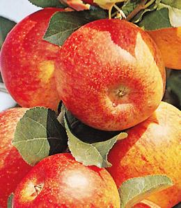 alkmene apfelbaum