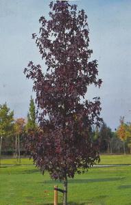 Amberbaum