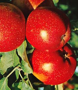 Roter Berlepsch