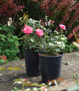 Rosen - Beetrosen - Bella Rose