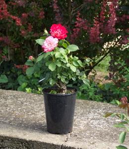 Rosen - Edelrosen - Mehrfärbige Rosen
