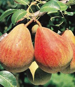 Obstbäume - Birnen - Clapps Liebling
