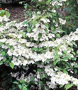 Viburnum plikatum - Mariesii