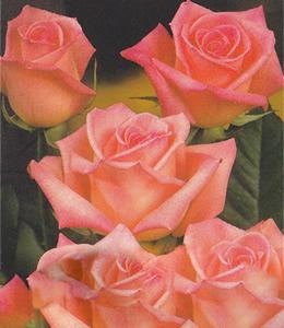 Rosen - Edelrosen - Rosarote Rosen