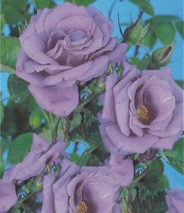 Rosen - Edelrosen - Blaue Rosen
