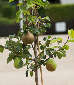 Birne Familienobstbaum