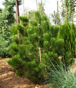 Koniferen Schlangenhautkiefer - Pinus Leucodermis