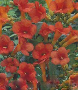 Schlingpflanzen - Jasmintrompete rot