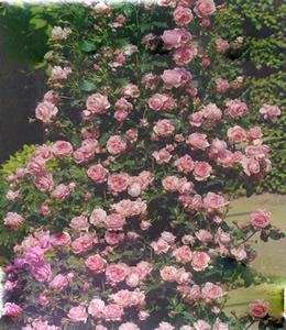 Rosen - Schlingrosen - Rosarote Rosen