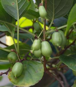 Kiwi klein fruchtig