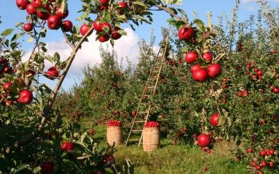 Der Apfel – unser Lieblingsobst